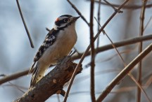 Downy Woodpecker - Mendon Ponds - © Dick Horsey - Nov 18, 2016