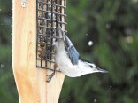 White-breasted Nuthatch - Irondequoit - © Eunice Thein - Dec 07, 2016
