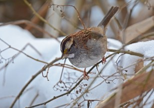 White-throated Sparrow - Tinker Nature Park - © Dick Horsey - Dec 13, 2016
