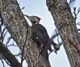Pileated Woodpecker - Mendon Ponds - © Candace Giles - Dec 21, 2016