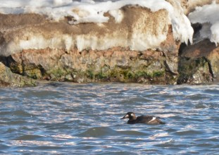 White-winged Scoter - Irondequoit Bay Outlet - © Dick Horsey - Dec 23, 2016