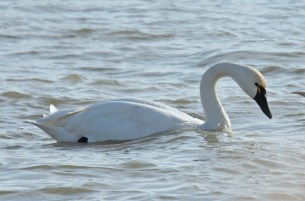 Tundra Swan - Irondequoit Bay Outlet - © Dick Horsey - Dec 23, 2016