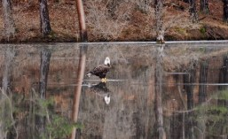 Bald Eagle - Boughton Park - © Claudia Walsh - Jan 04, 2017