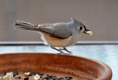 Tufted Titmouse - Webster - © Peggy Mabb - Jan 05, 2017