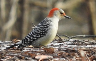 Red-bellied Woodpecker (F) - Mendon Ponds Park - © Eunice Thein - Jan 11, 2017