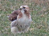 Red-tailed Hawk - Brockport - © Scott Coleman - Jan 14, 2017