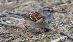 American Tree Sparrow - Mendon Ponds - © Dick Horsey - Jan 14, 2017