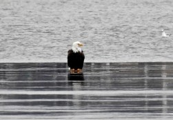 Bald Eagle - Irondequoit Bay Outlet - © Candace Giles - Jan 19, 2017