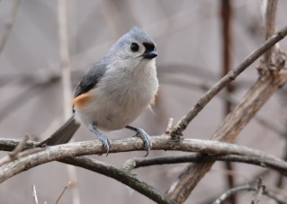 Tufted titmouse - Mendon Ponds (RBA Field Trip) - © Dick Horsey - Jan 21, 2017
