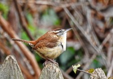 Carolina Wren - Irondequoit - © Candice Giles - Jan 26, 2017