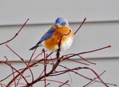 Eastern Bluebird - Victor - © Claudia Walsh - Jan 30, 2017