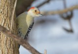 Red-bellied Woodpecker - Mendon Ponds Park - © Dick Horsey - Feb 06, 2017