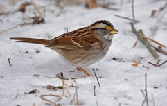 White-throated Sparrow - Mendon Ponds Park - © Dick Horsey - Feb 06, 2017