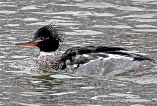 Red-breasted Merganser - Irondequoit Bay Outlet - © Candace Giles - Feb 10, 2017