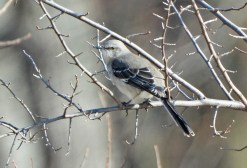 Northern Mockingbird - Whiting Road Nature Preserve - © Dick Horsey - Feb 18, 2017