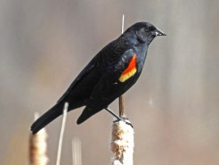 Red-winged Blackbird - Irondequoit Bay Outlet - © Candace Giles - Feb 22, 2017