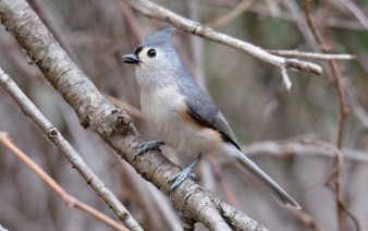 Tufted Titmouse - Mendon Ponds - © Dick Horsey - Feb 23, 2017