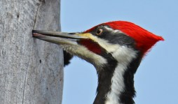 Pileated Woodpecker - Whiting Road Nature Preserve - © Dick Horsey - Feb 24, 2017