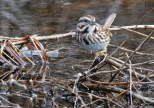 Song Sparrow - Whiting Road Nature Preserve - © Dick Horsey - Feb 24, 2017