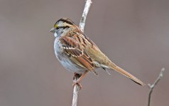 White-throated Sparrow - Whiting Road Nature Preserve - © Dick Horsey - Feb 24, 2017