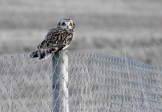 Short-eared Owl - Bloomfield - © Candace Giles - Feb 26, 2017