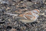 American Tree Sparrow - Webster - © Peggy Mabb - Feb 26, 2017
