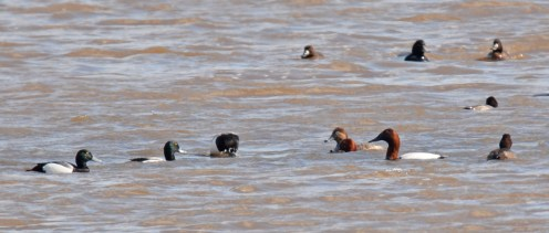 Greater Scaup (L) and Redhead (C) and Canvasback (R) - North Marina - © Dick Horsey - Feb 27, 2017