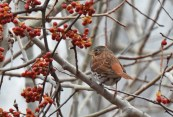 Fox Sparrow - Corbett's Glen Park - © Dick Horsey - Feb 28, 2017