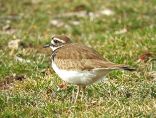 Killdeer - Webster - © Eunice Thein - Mar 01, 2017