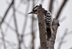 Hairy Woodpecker - Whiting Road Nature Preserve - © Dick Horsey - Mar 20, 2017
