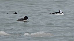 Bufflehead - Webster Park - © Dick Horsey - Mar 20, 2017
