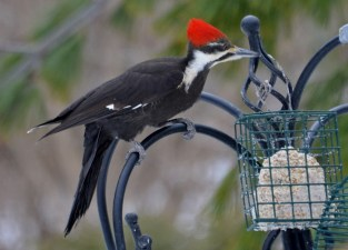 Pileated Woodpecker (F) - Webster - © Peggy Mabb - Mar 20, 2017