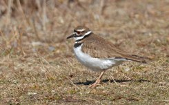 Killdeer - North Ponds Park - © Dick Horsey - Mar 22, 2017