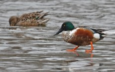 Northern Shoveler - North Ponds Park - © Dick Horsey - Mar 24, 2017