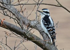 Hairy Woodpecker - Tinker Nature Park - © Dick Horsey - Mar 26, 2017