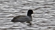 American Coot - North Ponds Park - © Dick Horsey - Mar 27, 2017