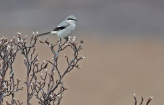 Northern Shrike - Braddock Bay Park - © Dick Horsey - Mar 29, 2017