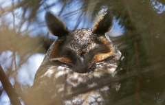 Long-eared Owl - Owl Woods - © Dick Horsey - Mar 29, 2017
