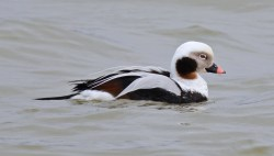 Long-tailed Duck - Irondequoit Bay Outlet - © Dick Horsey - Apr 05, 2017