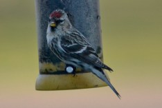 Common Redpoll - Webster - © Peggy Mabb - Apr 08, 2017
