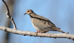 Mourning Dove - Beatty Point - © Dick Horsey - Apr 09, 2017