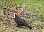 Pileated Woodpecker - LaSalle Landing Park - © Eunice Thein - Apr 20, 2017