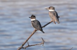 Belted Kingfisher - Abraham Lincoln Park - © Dick Horsey - Apr 23, 2017