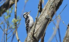 Hairy Woodpecker - Lucien Morin Park - © Dick Horsey - Apr 23, 2017