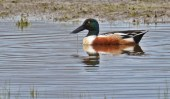 Northern Shoveler - Montezuma NWR - © Dick Horsey - Apr 26, 2017