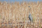 Great Blue Heron - Montezuma NWR - © Dick Horsey - Apr 26, 2017
