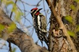 Yellow-bellied Sapsucker - Webster - © Peggy Mabb - Apr 27, 2017