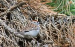 Chipping Sparrow - Cobbs Hill - © Dick Horsey - Apr 28, 2017