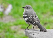 Northern Mockingbird - Irondequoit - © Eunice Thein - Apr 29, 2017