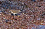 Spotted Sandpiper - B Forman Park (RBA Field Trip) - © Rosemary Reilly - May 02, 2017